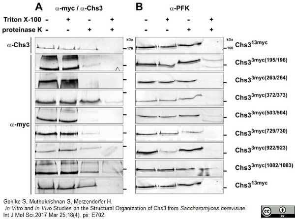 c-Myc Antibody | 9E10 gallery image 4