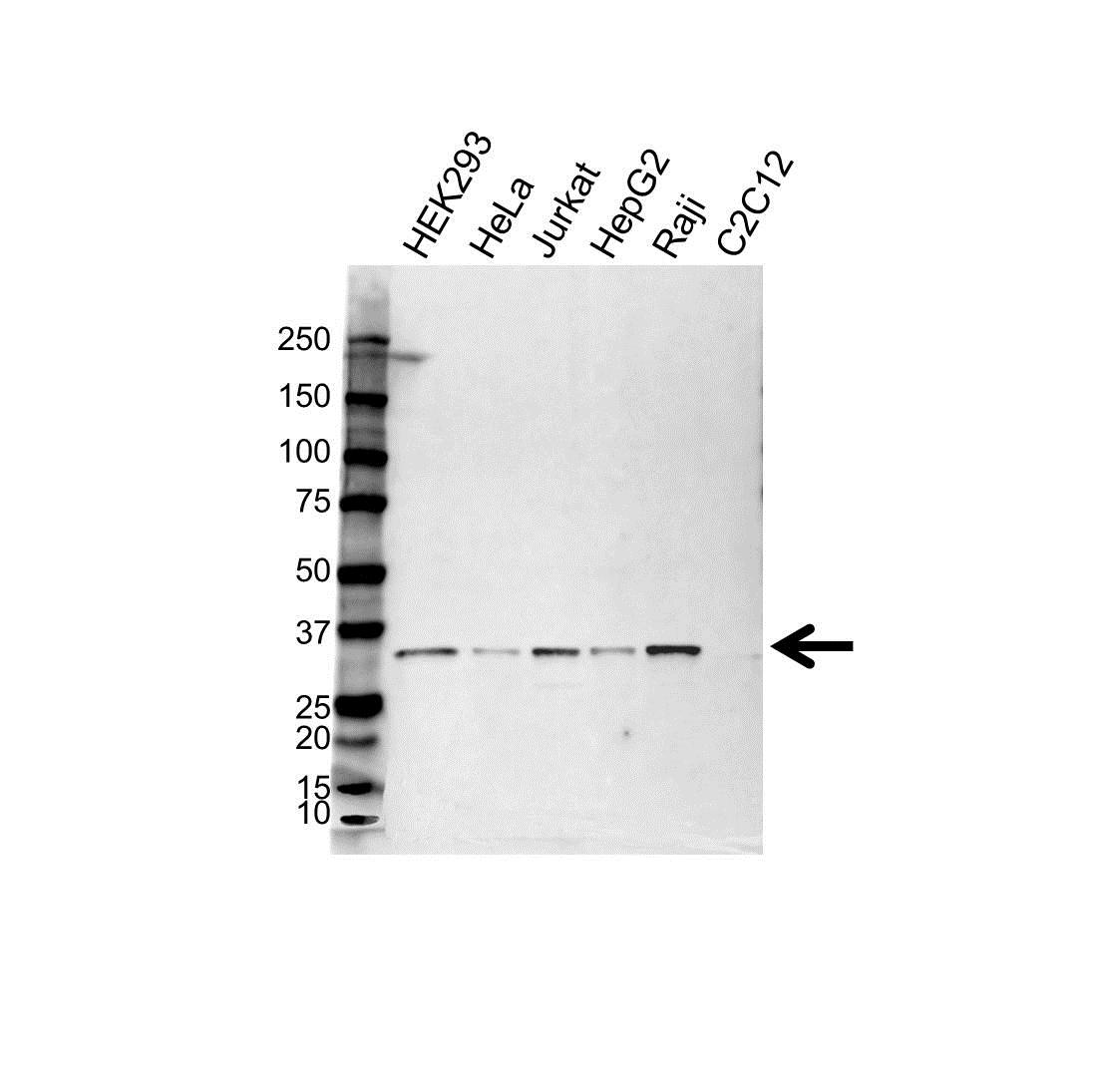 C1QBP Antibody (PrecisionAb<sup>TM</sup> Antibody) gallery image 1