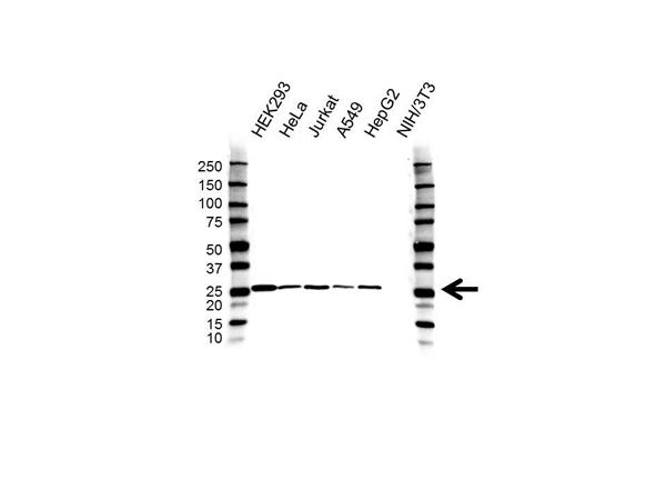 C21orf33 Antibody (PrecisionAb<sup>TM</sup> Antibody) gallery image 1
