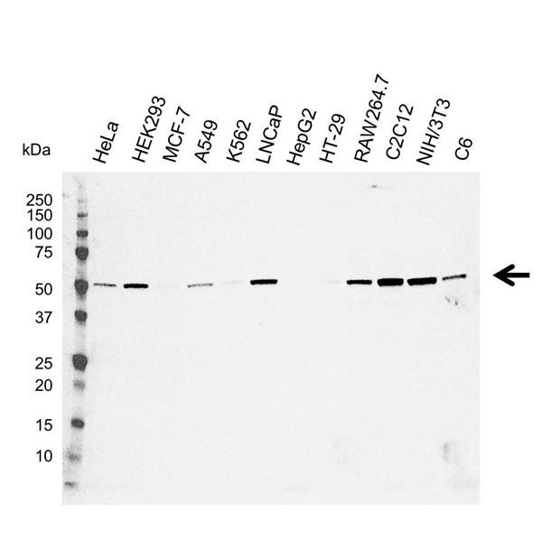 C9orf72 Antibody (PrecisionAb<sup>TM</sup> Antibody) gallery image 1