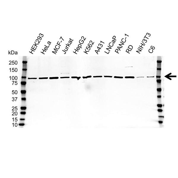 Calnexin Antibody (PrecisionAb<sup>TM</sup> Antibody) gallery image 1