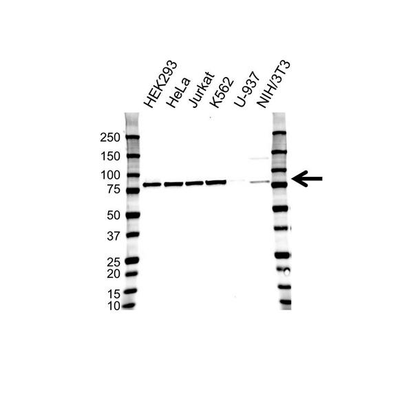 CALPAIN-1 Antibody (PrecisionAb<sup>TM</sup> Antibody) gallery image 1