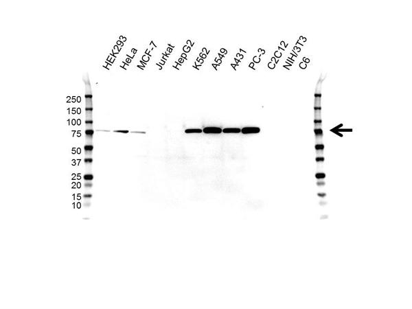 CALPAIN-2 Antibody (PrecisionAb<sup>TM</sup> Antibody) | OTI3G1 gallery image 1