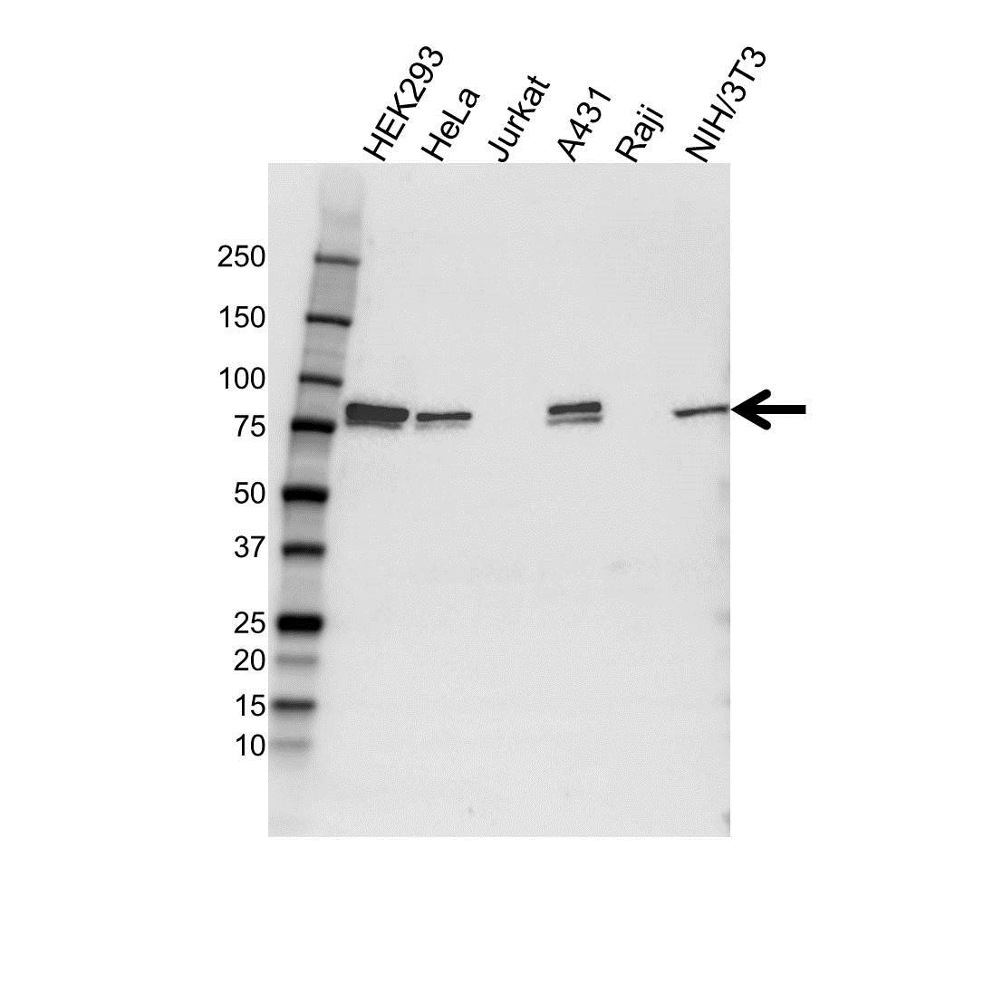 Calpain-5 Antibody (PrecisionAb<sup>TM</sup> Antibody) gallery image 1