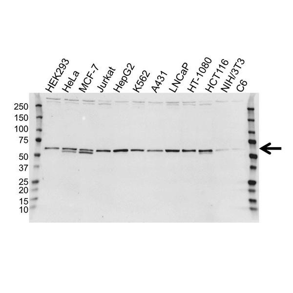 Calreticulin Precursor Antibody (PrecisionAb<sup>TM</sup> Antibody) gallery image 1
