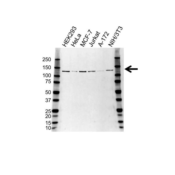 CAND1 Antibody (PrecisionAb<sup>TM</sup> Antibody) gallery image 1