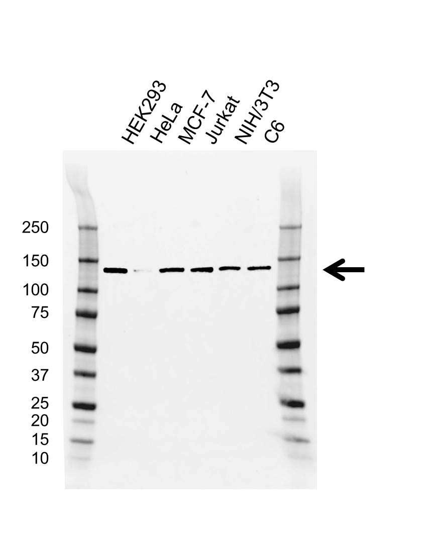 CAND1 Antibody (PrecisionAb<sup>TM</sup> Antibody) | CD01/4H2 gallery image 1