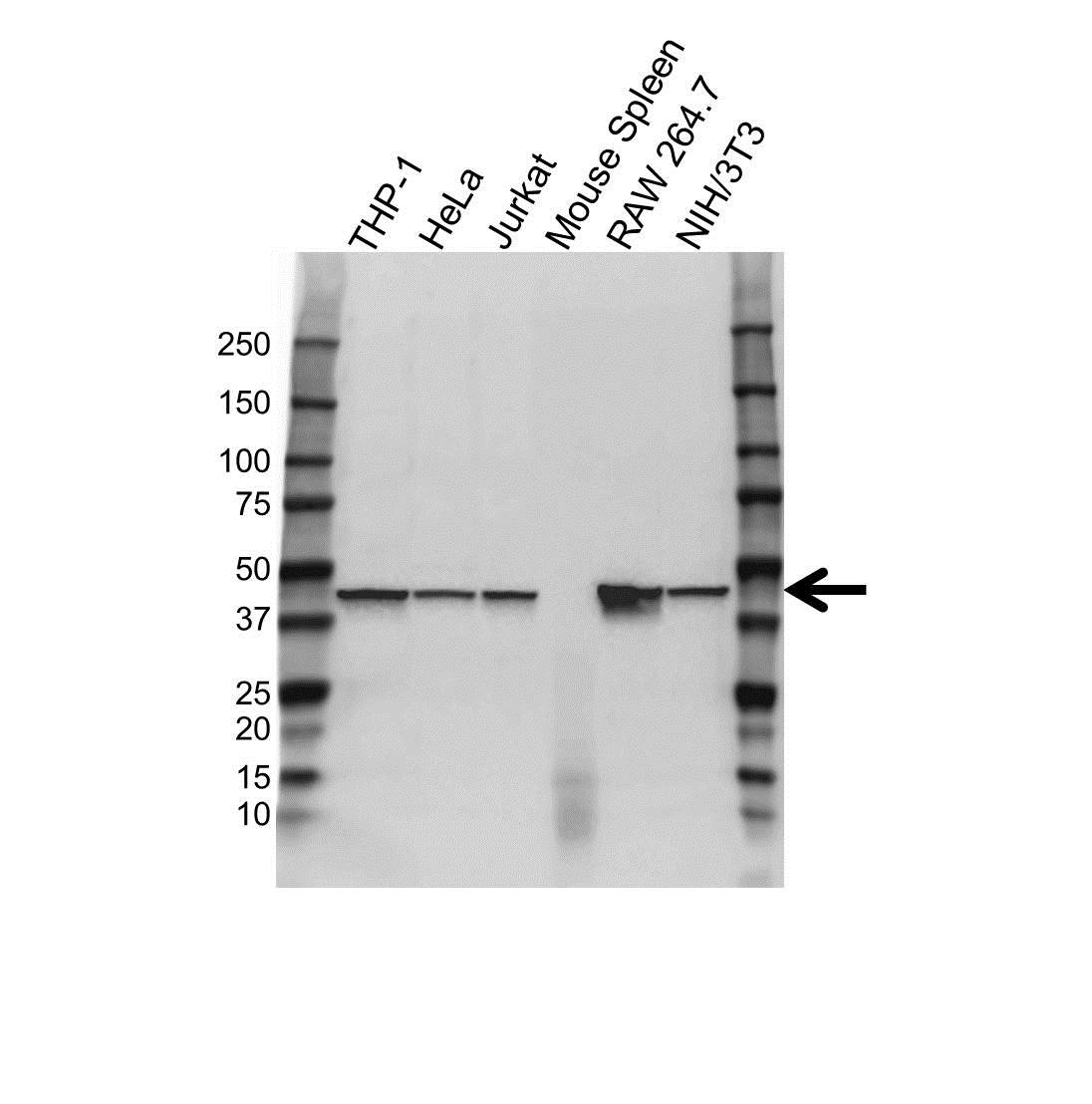 CAPG Antibody (PrecisionAb<sup>TM</sup> Antibody) gallery image 1