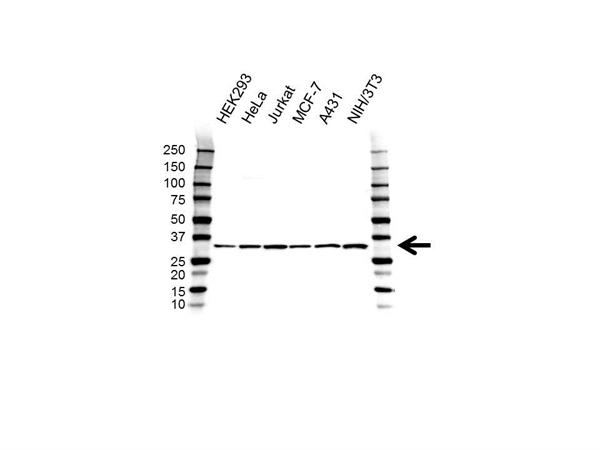 CAPZB Antibody (PrecisionAb<sup>TM</sup> Antibody) gallery image 1
