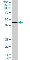 CART1 Antibody | 2A10 gallery image 1