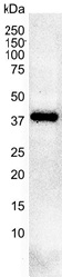 Casein Kinase 2 Antibody | AbD05928 thumbnail image 2