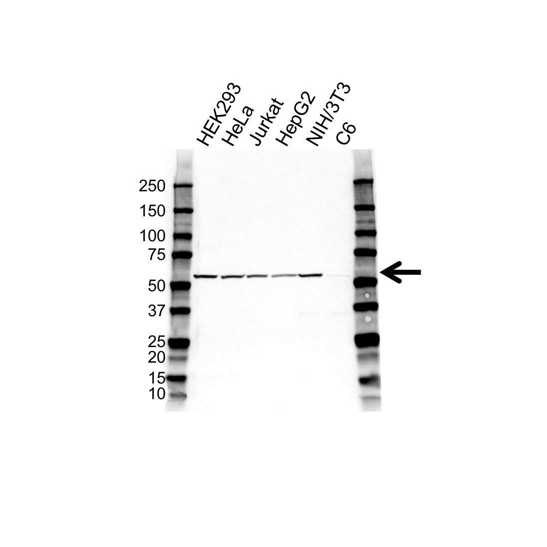 Caspase-10 Antibody (PrecisionAb<sup>TM</sup> Antibody) gallery image 1