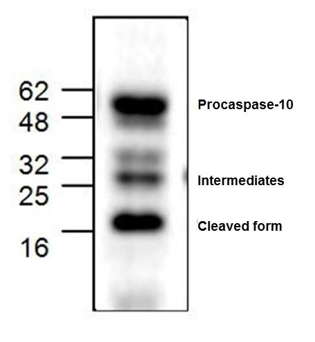 Caspase-10 Antibody gallery image 1
