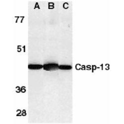Caspase-13 Antibody gallery image 1