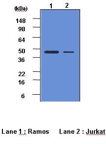 Caspase-2 Antibody | 1C10 gallery image 1