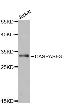 Caspase-3 Antibody gallery image 1