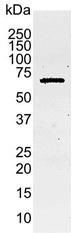Caspase-8 Antibody | 4-1-20 gallery image 1