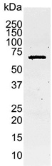 Caspase-8 Antibody   4-1-20 gallery image 1