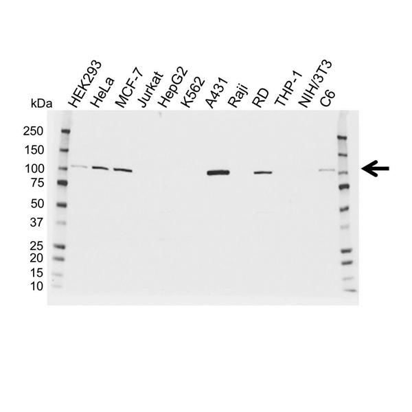 Catenin Alpha 1 Antibody (PrecisionAb<sup>TM</sup> Antibody) gallery image 1