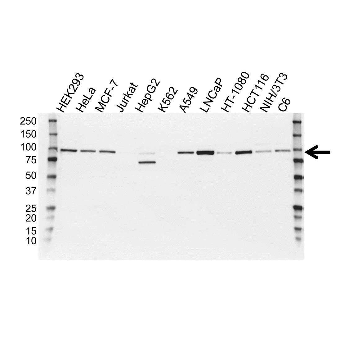 Catenin Beta Antibody (PrecisionAb<sup>TM</sup> Antibody) gallery image 1