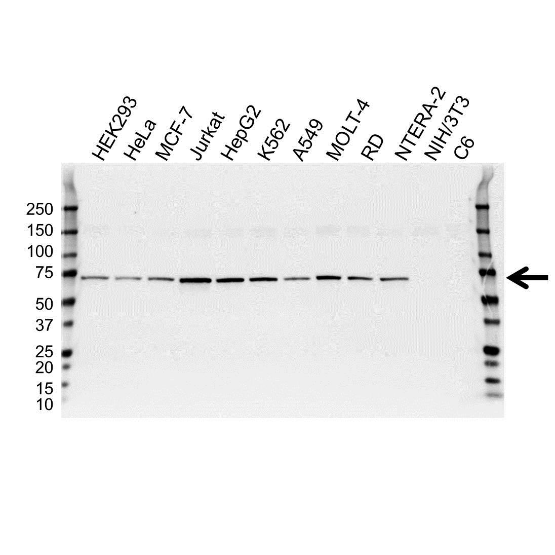 Catenin Beta-Like Protein 1 Antibody (PrecisionAb<sup>TM</sup> Antibody) gallery image 2