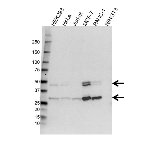 Cathepsin D Antibody (PrecisionAb<sup>TM</sup> Antibody) gallery image 1