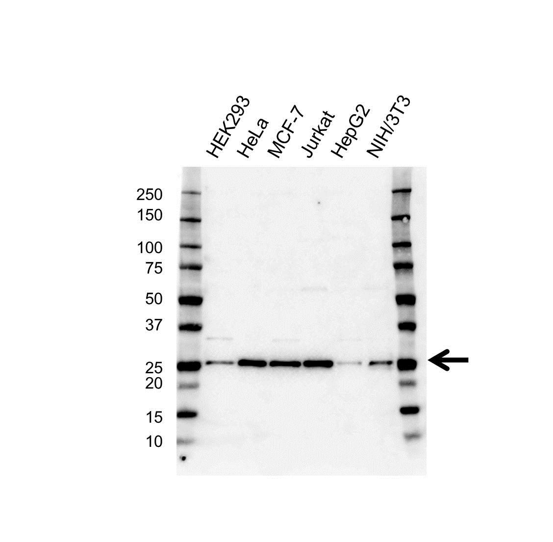CBX5 Antibody (PrecisionAb<sup>TM</sup> Antibody) gallery image 1