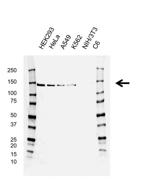 CCAR2 Antibody (PrecisionAb<sup>TM</sup> Antibody) | D02/1C5-4 gallery image 1