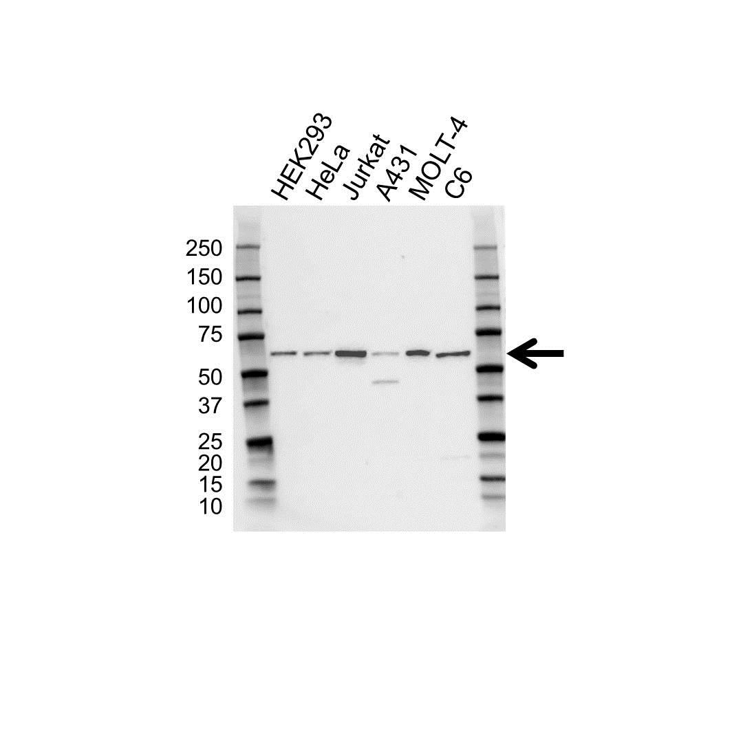 CCT Epsilon Antibody (PrecisionAb<sup>TM</sup> Antibody) gallery image 1