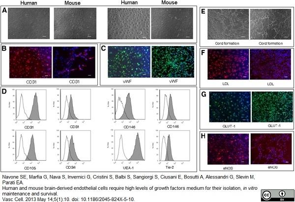 CD105 Antibody | SN6 gallery image 14