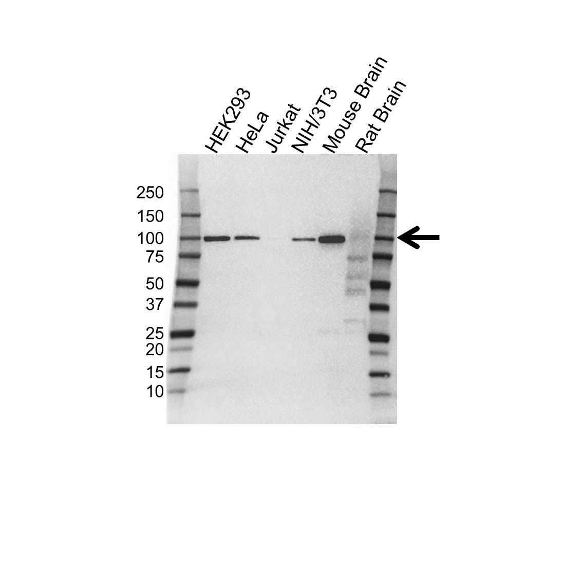 CD106 Antibody (PrecisionAb<sup>TM</sup> Antibody) | 3H10 gallery image 1