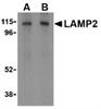 CD107b Antibody thumbnail image 1