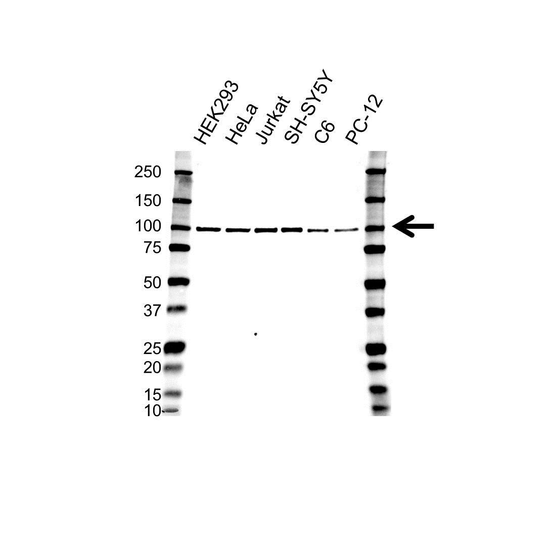 CD107b Antibody (PrecisionAb<sup>TM</sup> Antibody) gallery image 1