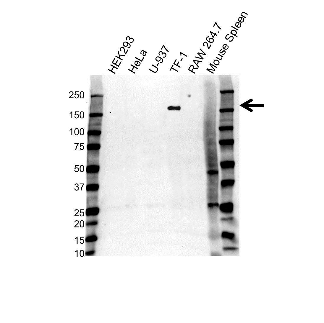 CD11b Antibody (PrecisionAb<sup>TM</sup> Antibody) | 2D11 gallery image 1
