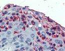 CD11c Antibody thumbnail image 1