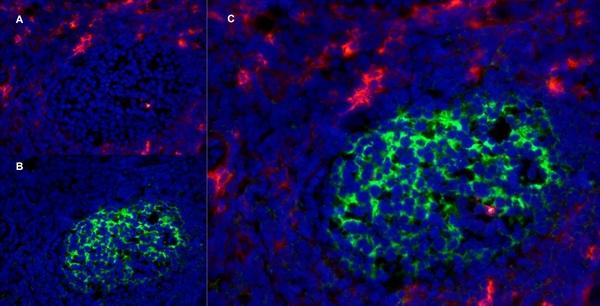 CD13 Antibody | WM15 gallery image 10