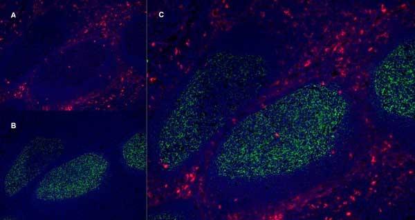 CD13 Antibody | WM15 gallery image 5