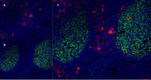 CD13 Antibody | WM15 gallery image 6