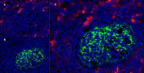 CD13 Antibody | WM15 gallery image 7
