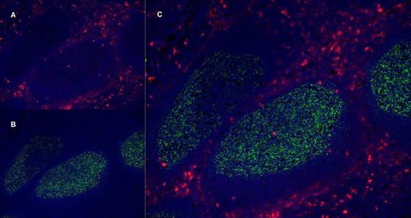 CD13 Antibody | WM15 gallery image 8