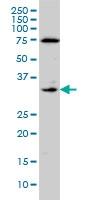 CD142 Antibody | 4G4 gallery image 1