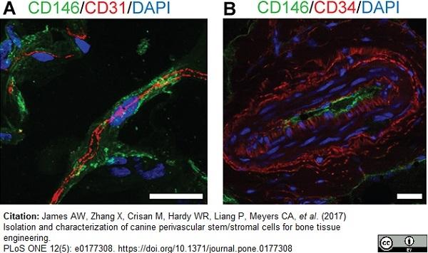 CD146 Antibody | OJ79c gallery image 12