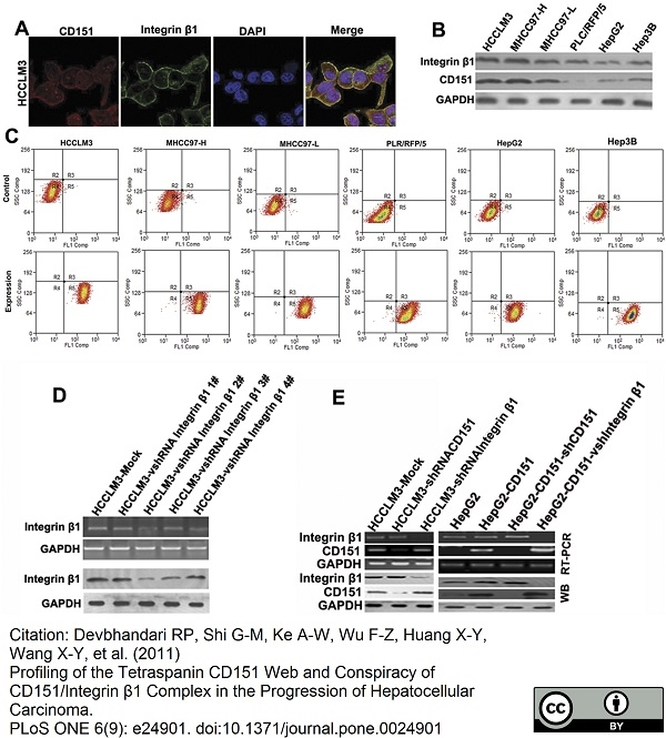 CD151 Antibody   11G5a gallery image 5