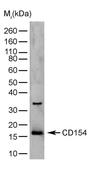 CD154 Antibody | YMF323.6.2 gallery image 1