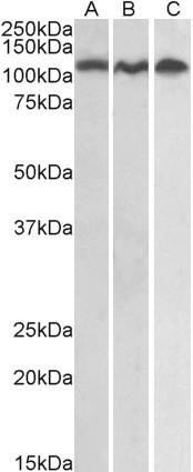 CD156b Antibody gallery image 2