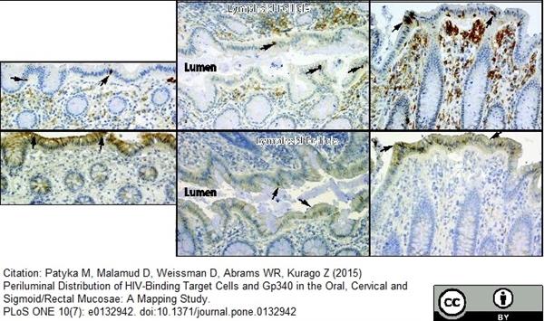 CD16 Antibody | 2H7 gallery image 4