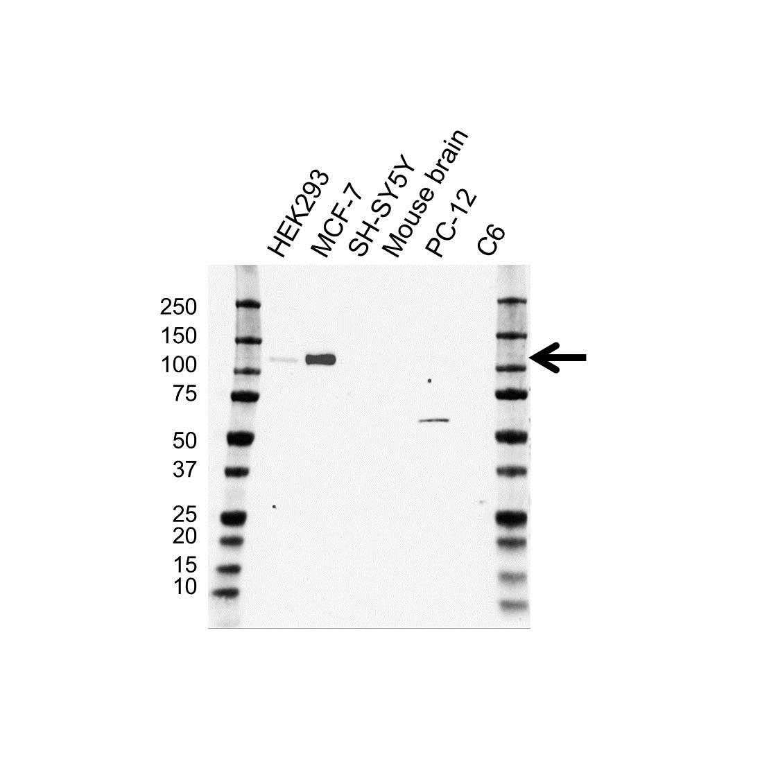 CD167 Antibody (PrecisionAb<sup>TM</sup> Antibody) gallery image 1