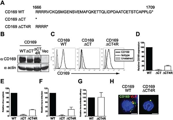 CD169 Antibody | 7-239 gallery image 7