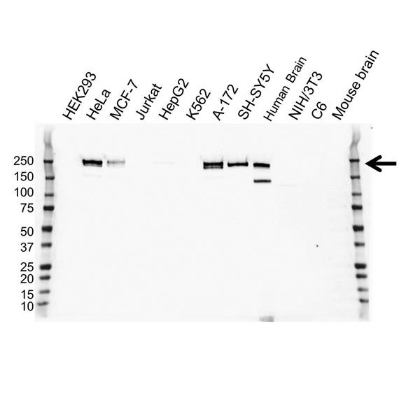 CD171 Antibody (PrecisionAb<sup>TM</sup> Antibody) | OTI2G9 gallery image 1