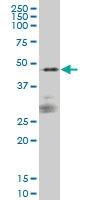 CD172a Antibody | 1D10 gallery image 1